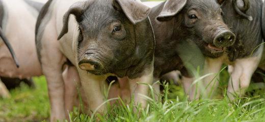 Unser Schweinefleisch